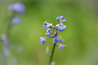 Alpine forget-me-not