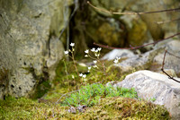Spotted Saxifrage III