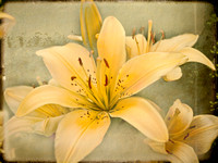Lily - This image is available as a note card only.