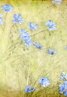 Blue Flax - This image is available as a note card only.