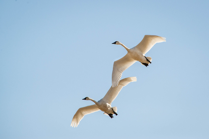 Pair of Tundra Swan