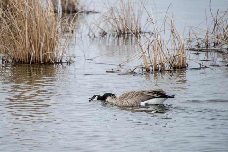Canada Goose on patrol