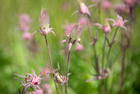 Old man's whiskers / Three flowered avens